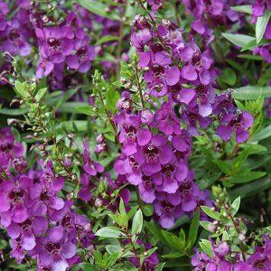 angelonia dark purple