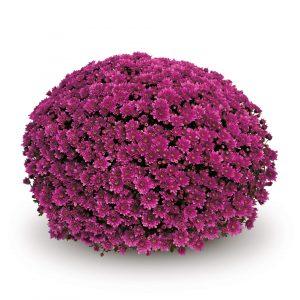 Mefisto_purple